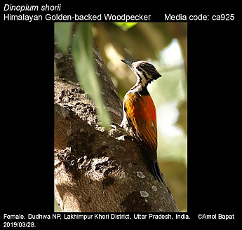 Dinopium shorii - Himalayan Golden-backed Woodpecker