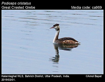 Podiceps cristatus - Great Crested Grebe
