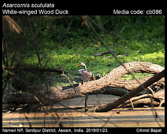 Asarcornis scutulata - White-winged Wood Duck