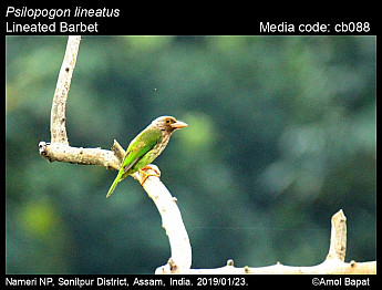Psilopogon lineatus - Lineated Barbet