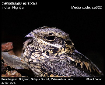 Caprimulgus asiaticus - Indian Nightjar