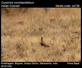 Cursorius coromandelicus - Indian Courser