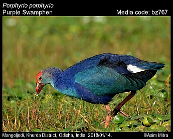 Porphyrio porphyrio - Purple Swamphen