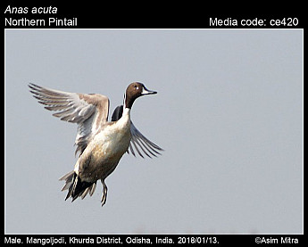 Anas acuta - Northern Pintail