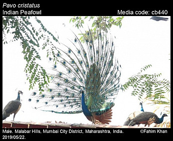 Pavo cristatus - Indian Peafowl