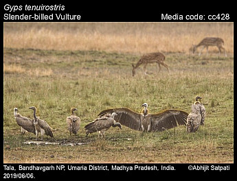 Gyps tenuirostris - Slender-billed Vulture