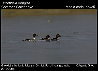 Bucephala clangula - Common Goldeneye
