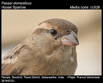 Passer domesticus - House Sparrow