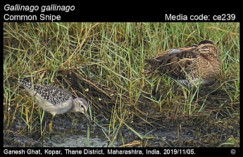 Gallinago gallinago - Common Snipe