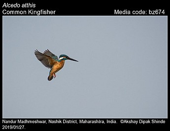 Alcedo atthis - Common Kingfisher