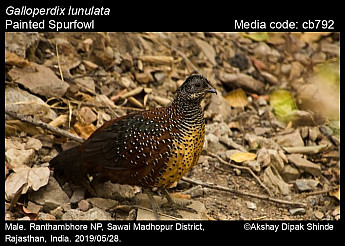 Galloperdix lunulata - Painted Spurfowl