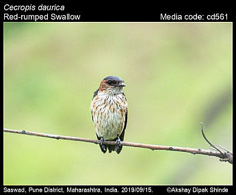 Cecropis daurica - Red-rumped Swallow