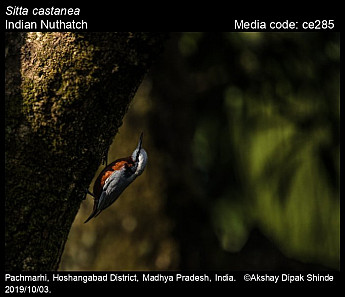 Sitta castanea - Indian Nuthatch