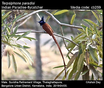 Terpsiphone paradisi - Indian Paradise-flycatcher