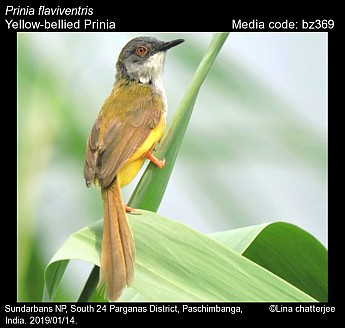 Prinia flaviventris - Yellow-bellied Prinia