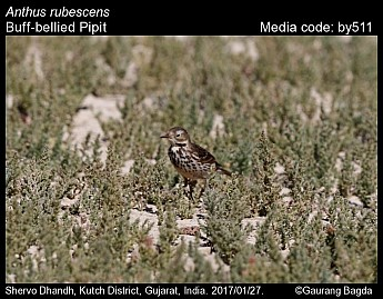 Anthus rubescens - Buff-bellied Pipit