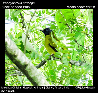 Brachypodius atriceps - Black-headed Bulbul