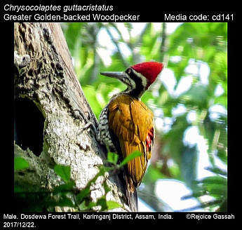 Chrysocolaptes guttacristatus - Greater Golden-backed Woodpecker