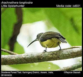 Arachnothera longirostra - Little Spiderhunter