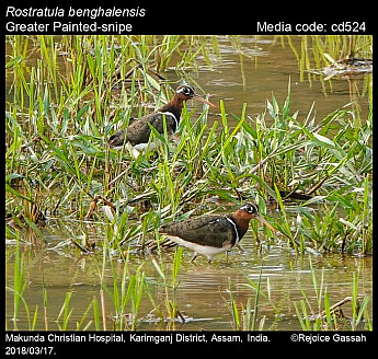 Rostratula benghalensis - Greater Painted-snipe
