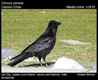 Corvus corone - Carrion Crow
