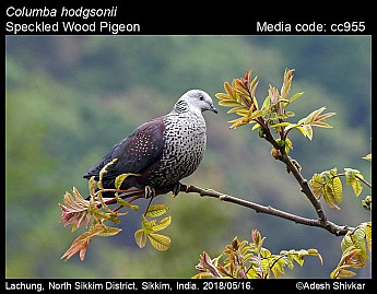 Columba hodgsonii - Speckled Wood Pigeon