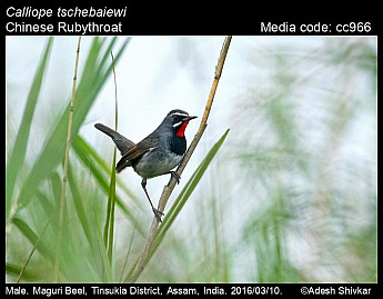 Calliope tschebaiewi - Chinese Rubythroat