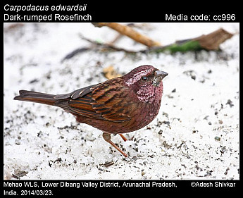 Carpodacus edwardsii