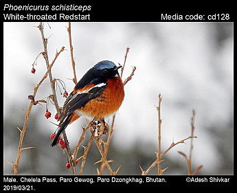 Phoenicurus schisticeps - White-throated Redstart