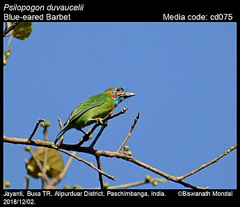 Psilopogon duvaucelii - Blue-eared Barbet