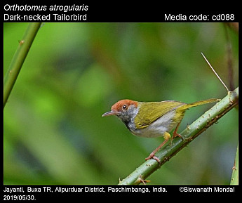 Orthotomus atrogularis - Dark-necked Tailorbird