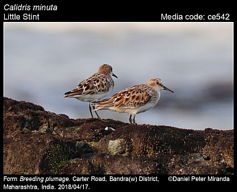 Calidris minuta - Little Stint