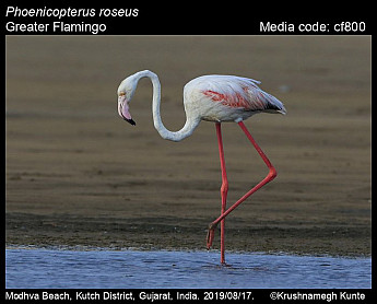 Phoenicopterus roseus - Greater Flamingo