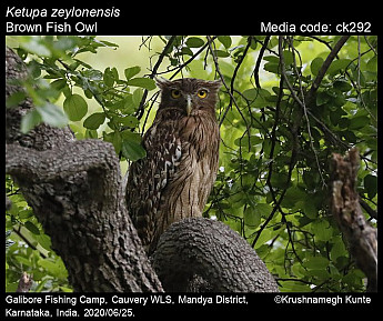 Ketupa zeylonensis - Brown Fish Owl