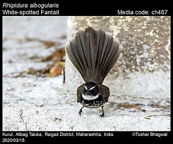 Rhipidura albogularis - White-spotted Fantail
