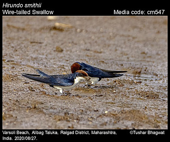 Hirundo smithii - Wire-tailed Swallow
