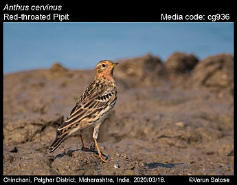 Anthus cervinus - Red-throated Pipit