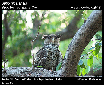 Bubo nipalensis - Spot-bellied Eagle Owl
