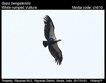 Gyps bengalensis - White-rumped Vulture