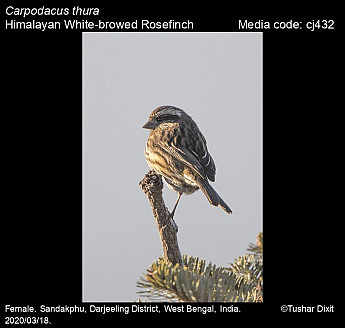 Carpodacus thura - Himalayan White-browed Rosefinch