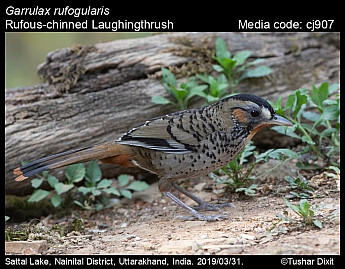 Garrulax rufogularis - Rufous-chinned Laughingthrush