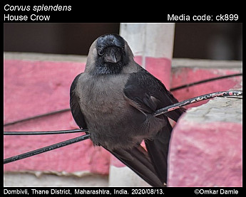 Corvus splendens - House Crow