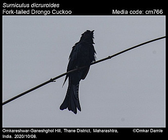 Surniculus dicruroides - Fork-tailed Drongo Cuckoo