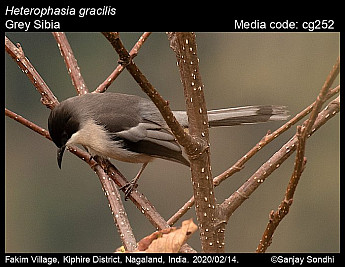 Heterophasia gracilis - Grey Sibia
