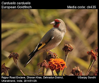 Carduelis carduelis - European Goldfinch