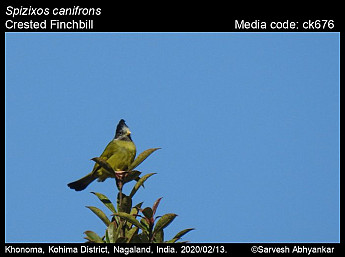 Spizixos canifrons - Crested Finchbill