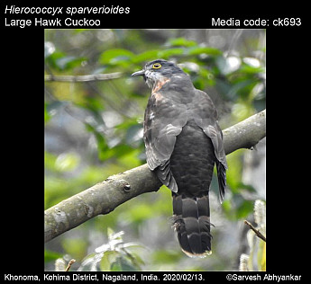 Hierococcyx sparverioides - Large Hawk Cuckoo