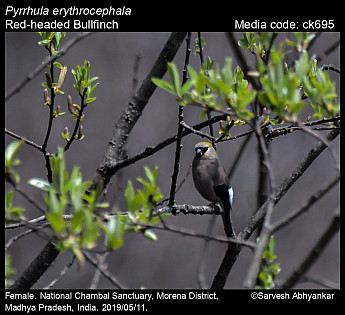 Pyrrhula erythrocephala - Red-headed Bullfinch
