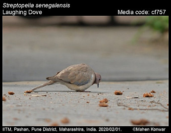 Streptopelia senegalensis - Laughing Dove