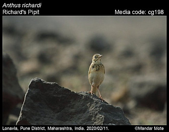 Anthus richardi - Richard's Pipit